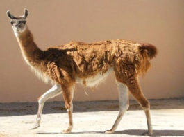 Naissance d'un lama au Jardin d'Essai d'El Hamma