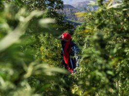 Cannabis: le gouvernement marocain approuve la légalisation, tensions au parti du pouvoir